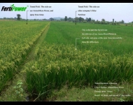 INDONESIA RICE AMINO MICRO POWER 2